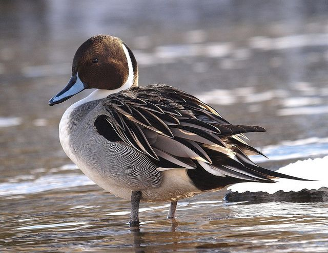 Northern pintail mount - photo#54