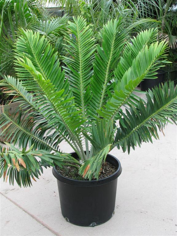 Encephalartos%20sclavoi%20(Large).JPG.