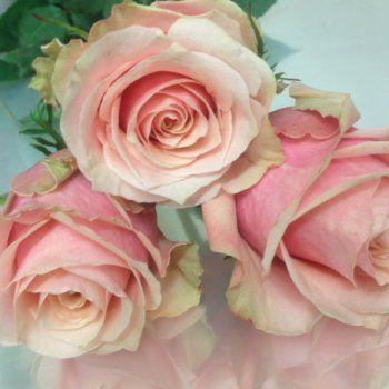toscanini rose
