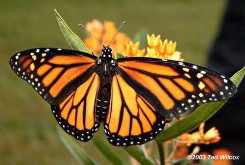 Monarch オオカバマダラButterfly female