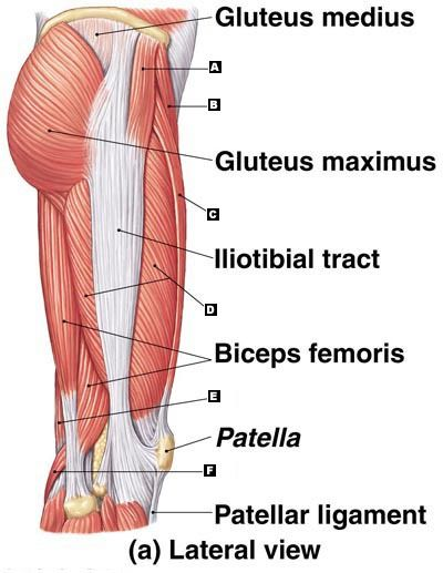 Lateral Thigh Muscle