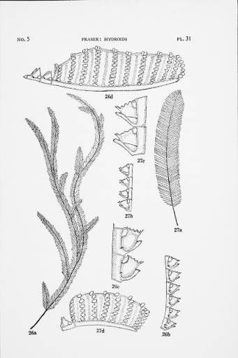 Hydroids of the Allan Hancock Pacific Expeditions since March 1938 :: Allan Hancock Foundation Collection