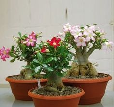 Desert Rose Adenium Natural Bonsai