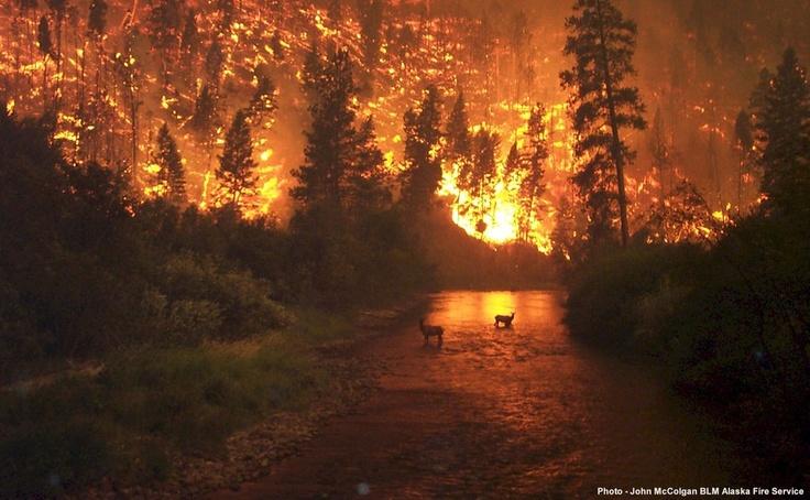 Elk seek refuge: Photos, Montana, Forests Fire, Beautiful, Nature Disasters, Digital Cameras, Each, Deer, National Forests
