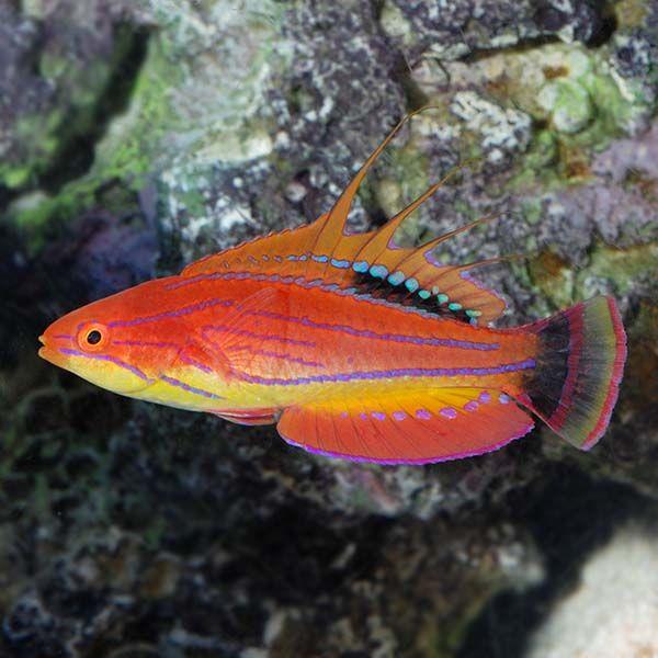 Https Www Liveaquaria Com Images Categories Product Lg 75683 Carpentersflasherwrasse Male Jpg Saltwater Fish Tanks Best Aquarium Fish Aquarium Fish