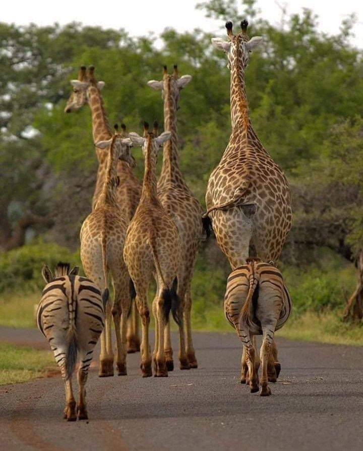 Pin By Barbara Rathmanner On Animals Animals Wild Giraffe