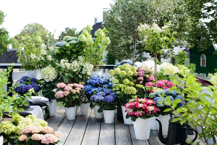 Hortensien in ihrer Vielfalt auf der Terrasse #pflanzenfreude