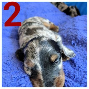 Litter of 4 Dachshund puppies for sale in ENGLEWOOD, FL. ADN-27429 on PuppyFinder.com Gender: Male(s) and Female(s). Age: 4 Weeks Old