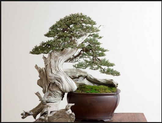 tanaman-bonsai-indonesia