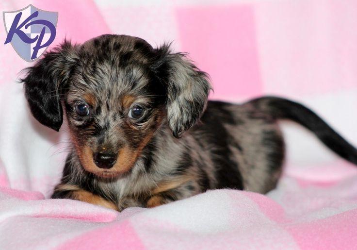 Chiweenie Dog Rescue