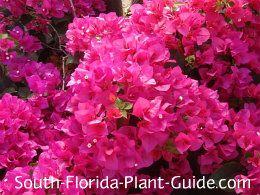 The 78 best landscape ideas and plants i like images on pinterest dwarf bougainvillea fushia flowers only mightylinksfo