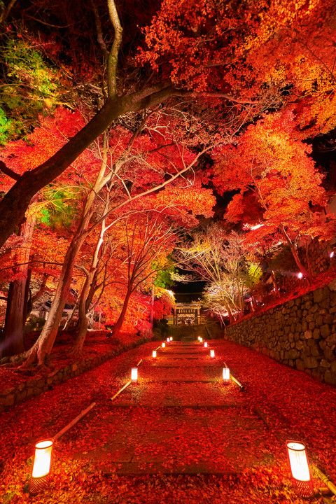 Crimson carpet - Autumn leaves in Bishamondo Temple, Kyoto, Japan