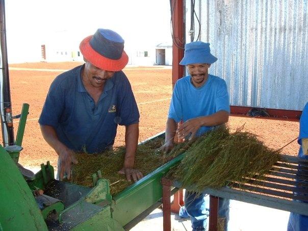 Processing Green Rooibos tea bales