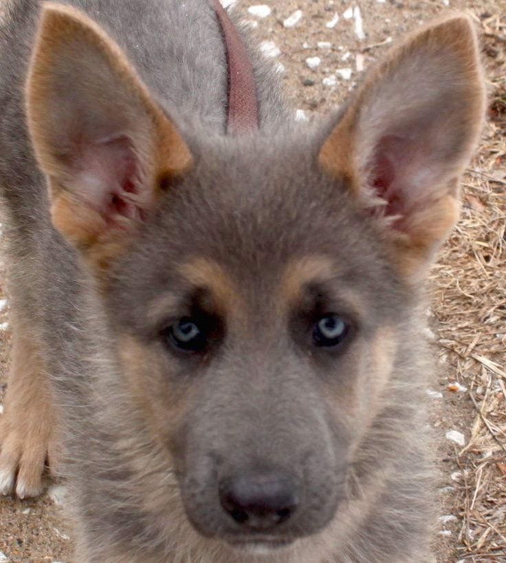 blue eye german shepherd the 25 best blue german shepherd ideas on pinterest 9240