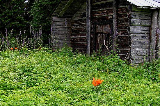 "Sturdy Tiger Lily (""brandlilja) at an abandoned summer farm, Sweden."