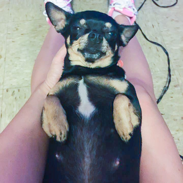 Springfield (OH) United States  city photo : Lost Dog Chihuahua Short Haired Springfield, OH, United States ...