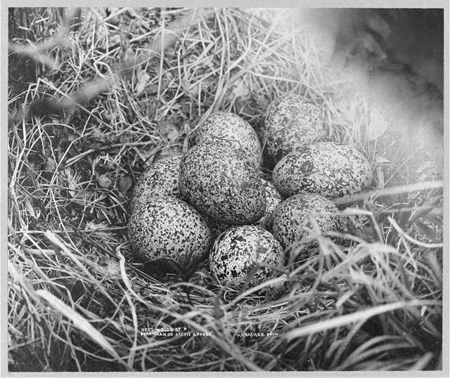Nest and eggs of ptarmigan, or Arctic grouse