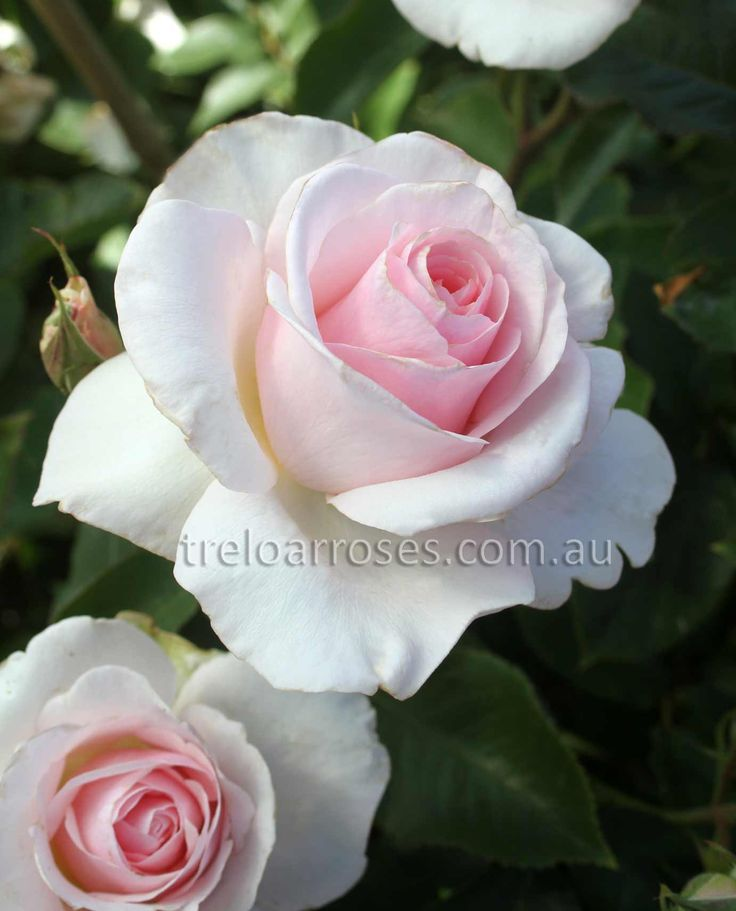 Mother's Love - The soft white to creamy pink blooms gently deepen in colour toward the centre. Flowers are mainly produced in clusters of three and have a strong, sweet fragrance. Abundant deep green foliage on a medium to tall, healthy bush reaching 1.5m. This variety is supporting the Nursing Mother's Association of Australia.
