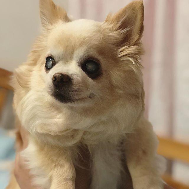 撮りたてダイヤちゃん!! 可愛すぎです!!! ダイヤは美人さんやなぁぁ(*´ A`*) 名前負けしてないわぁ💍✨笑 * #ダイヤちゃん #チワワ #ロングコート #ロングコートチワワ #ロングコートチワワ部 #サマーカット #愛犬 #愛犬家 #チワワ部 #犬 #犬なしでは生きていけない #犬好きさんと繋がりたい #ふわふわ #もこもこ #癒し犬 #癒し #癒し動画 #ペット#インスタ映え #dog #pet #chihuahua #chihuahuaworld #chihuahualife #chihuahualover  #family #love #cute #my_pet_feature