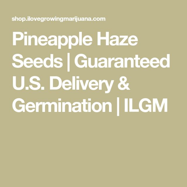 Pineapple Haze Seeds | Guaranteed U.S. Delivery & Germination | ILGM