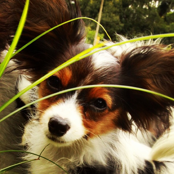 Salatino's Papillon      #dog #salatino #clubesalatino #canil #perro #dogs  #cute #love #nature #animales #dog #ilovemydog  #ilovemypet #cute #baby #papillon #borboleta #butterfly #butterflydog #pca #cute #baby