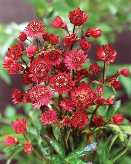 """Astrantia major """"claret"""" - masterwort flower. For part shade, summer blooming perennial"""