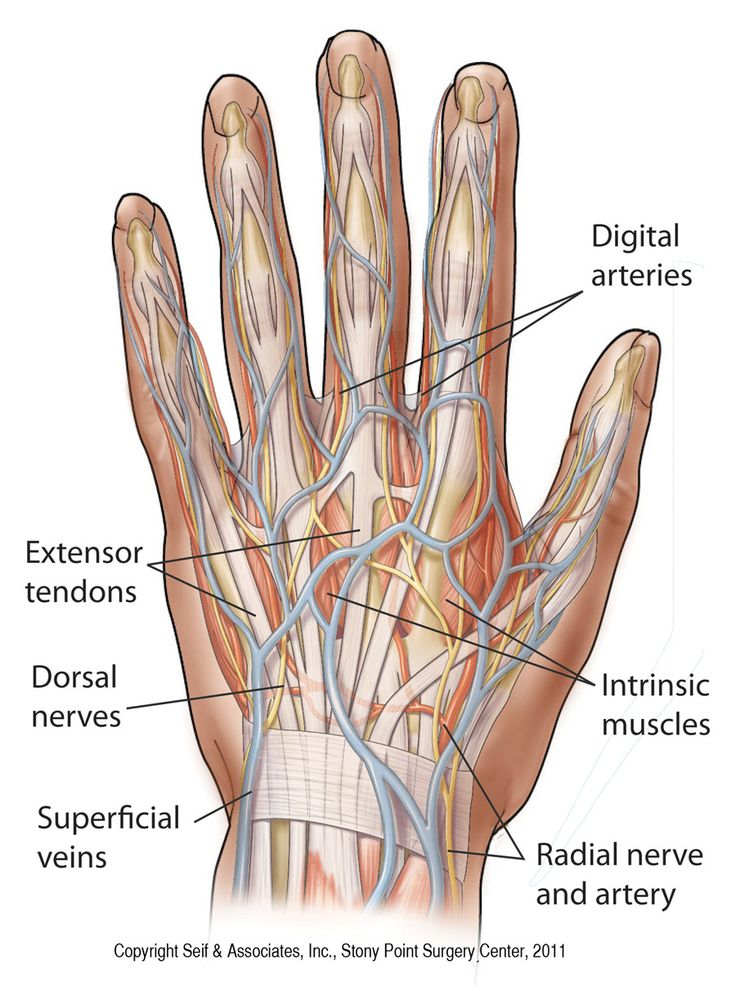 Anatomy of the left hand