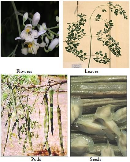 Moringa Tree---best medicinal info                                                                                                                                                                                 More