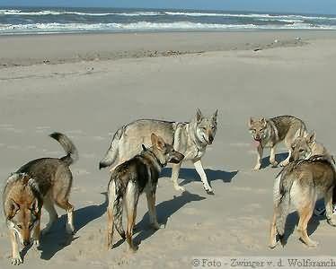 Tschechoslowakischer Wolfshund an der Nordsee