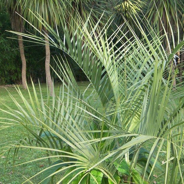 Palmier compact à la couronne arrondie composée de feuilles d'abord dressées puis retombantes presque jusqu'au sol. <br>Rustique jusqu'à -12°C.