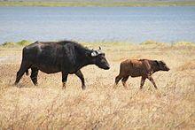 African buffalo - Wikipedia, the free encyclopedia