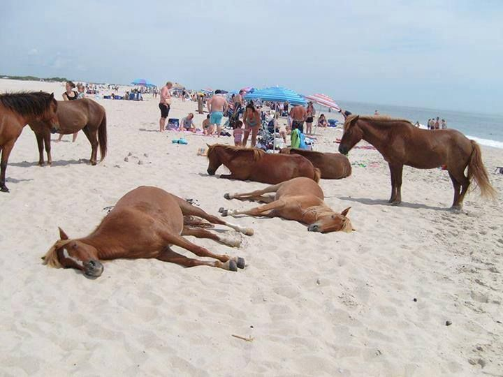 sunbathing with the wild horses ... 'cause that's how we roll here!!   Corolla/Corova, OBX, NC