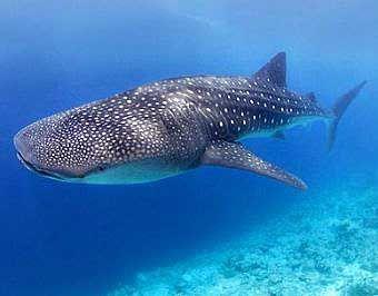 Tiburón ballena. Lo que son las cosas, me viene para una charla sobre redes sociales