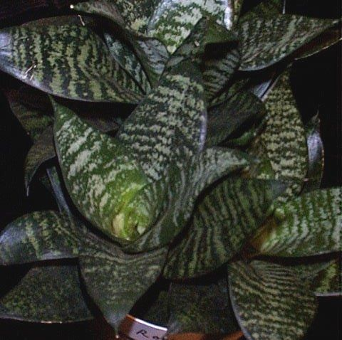 les 50 meilleures images du tableau sansevieria trifasciata cultivars sur pinterest langue de. Black Bedroom Furniture Sets. Home Design Ideas