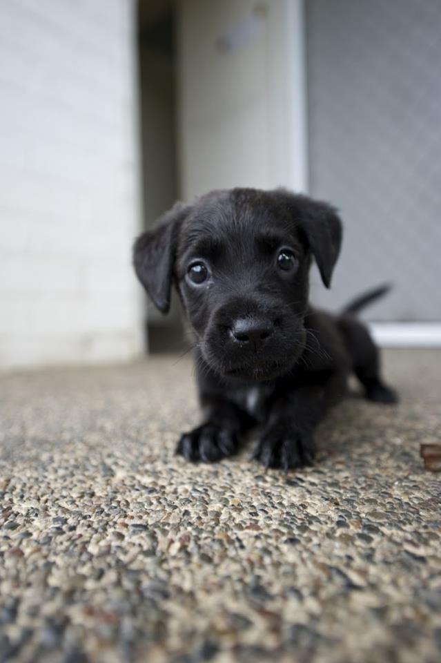 Cute Black Labrador Puppy.