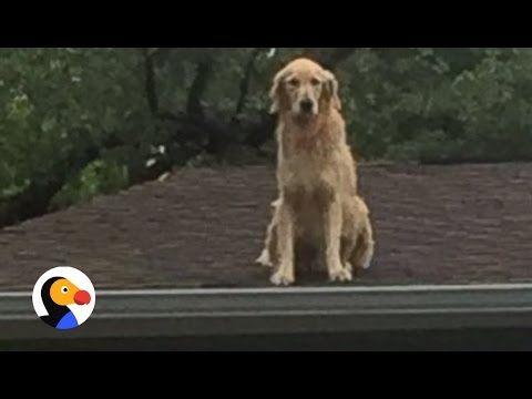 Huck The Roof Dog Dog Loves Hanging Out On The Roof The Dodo Dogs Dog Love Golden Retriever