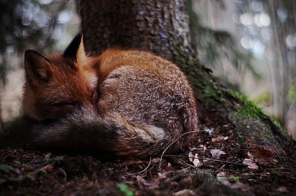 Sleeping fox - prints for sale