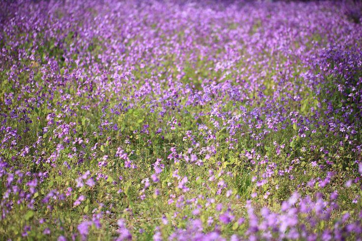 https://flic.kr/p/7Wsyf3 | Chinese violet cress / Orychophragmus violaceus / 紫花菜(ムラサキハナナ) | Showa Kinen Park, Tachikawa-shi(city) Tokyo-to(Prefecture), Japan  東京都立川市(とうきょうと たちかわし) 国営昭和記念公園(こくえい しょうわきねんこうえん)