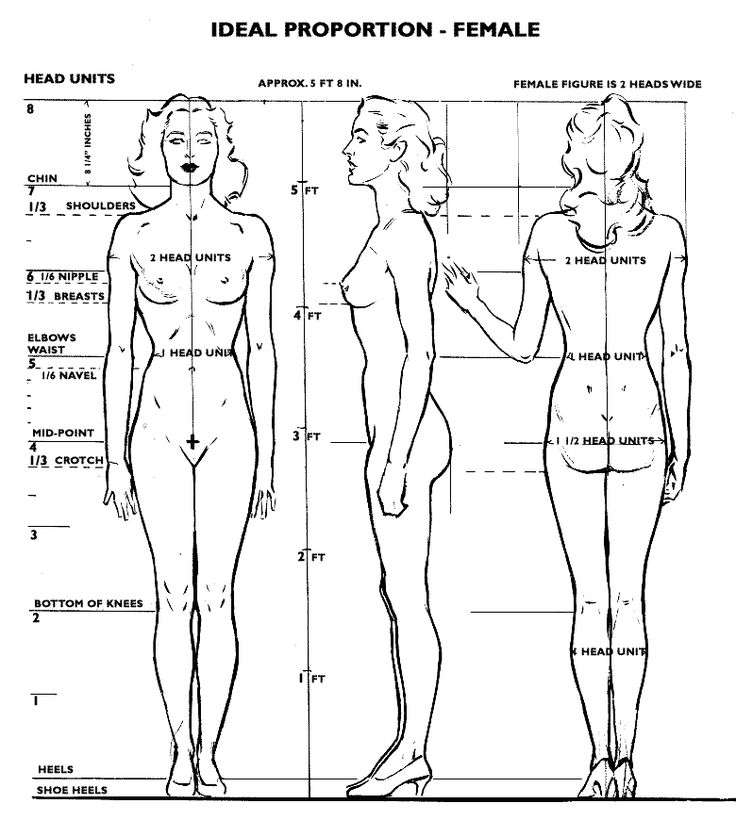 Female proportion.  - The body width = 2 heads wide  - Waist = 1 head wide  - Buttocks = 1 1/2 heads wide  - Width of calf muscles together at mid-point = 1 head wide  - Bottom of the knees = 2 heads from ground level