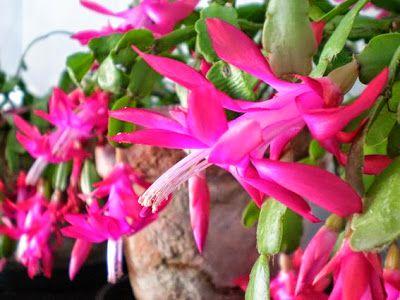 Hédi hobbija: A karácsonyi kaktusz virágoztatása