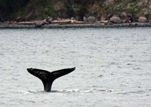 Gray whale watching off the coast of Whidbey Island  | The Seattle Times