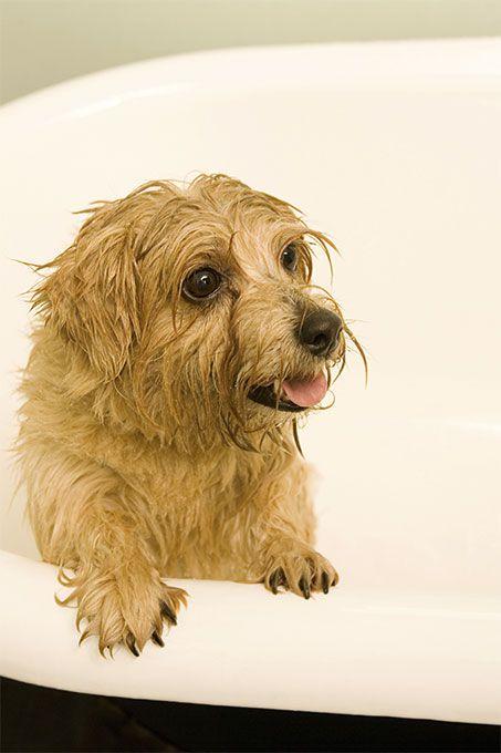 Norfolk Terrier Dog Breed Information, Pictures