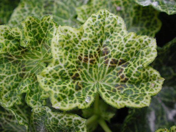Gorgeous 'Crocodile' Geranium Pelargonium by SteveSuperGardens, $7.99