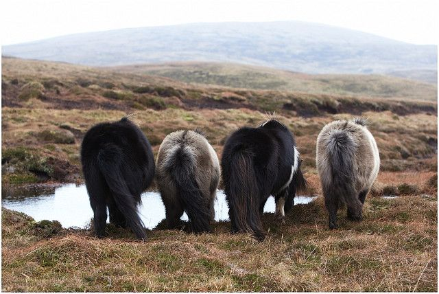 ☮That time I went to Shetland Island & saw Shetland ponies shaking their booties whilst they drank from a puddle...