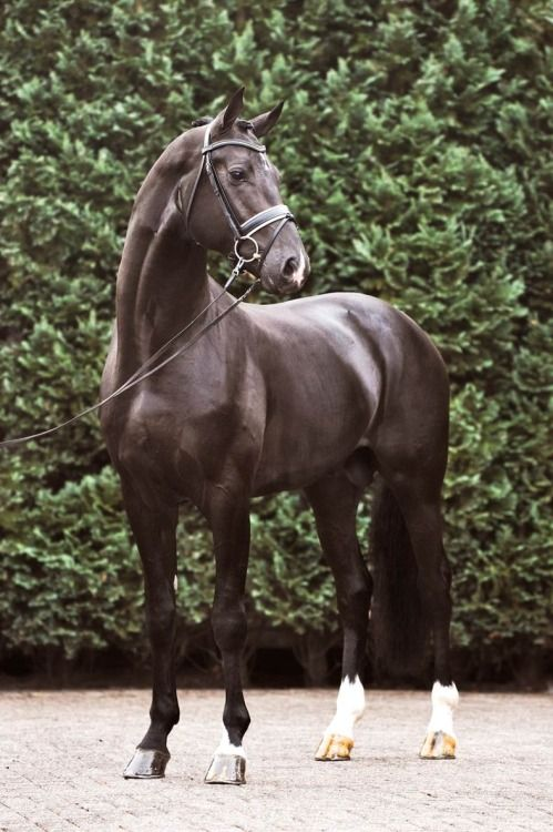 Fairytale 「Lord Leatherdale x Aida」 Dutch Warmblood Stallion