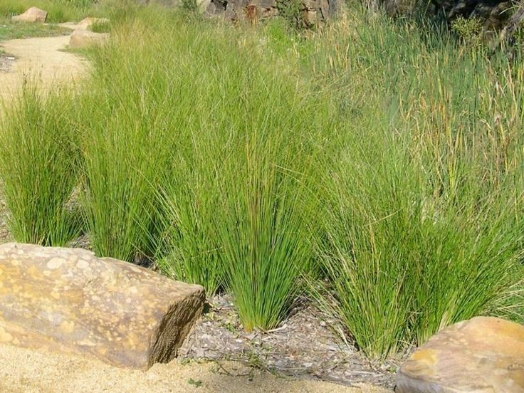 COMMON RUSH (Juncus usitatis) 100 seeds