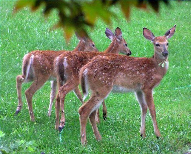 Homemade Deer Repellent Recipe