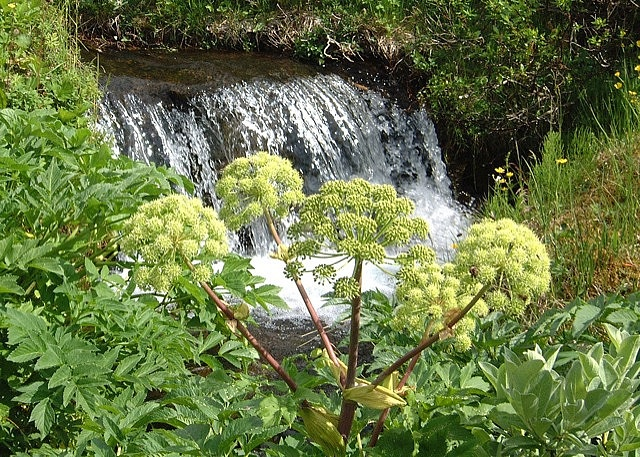 Angelica archangelica by a small waterfall in Iceland. Notice the flies feeding off the herb. It contains many helpful bioactive compounds. The angelica herb is one of the most popular medicinal herbs in Icelandic history.     how to get treatments for anxiety click on http://treatmentforanxiety.bestonlineproducts.net/