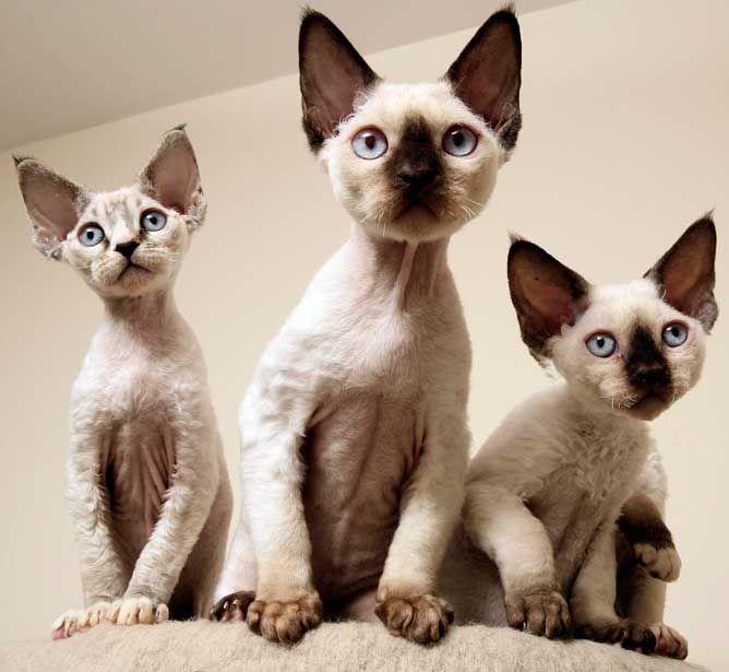 Best 25 Devon Rex Ideas On Pinterest Devon Rex Kittens