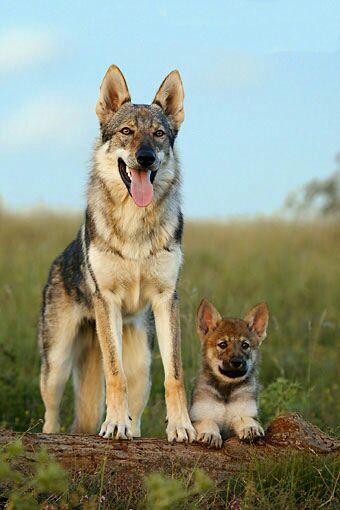 Lupo cecoslovacco e cucciolo